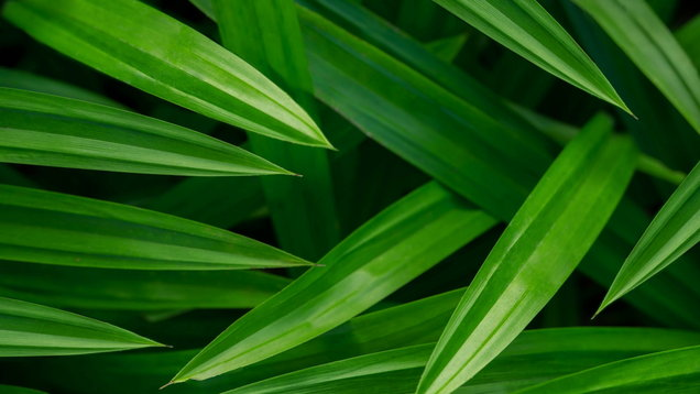 Green Tropical Pandan Leaf Texture background, Top view