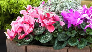Fill pots with cyclamen. (Squire's Garden Centres/PA)
