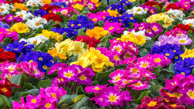 Primulas (Thinkstock/PA)