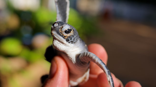 Tiny baby ocean turtle between fingers