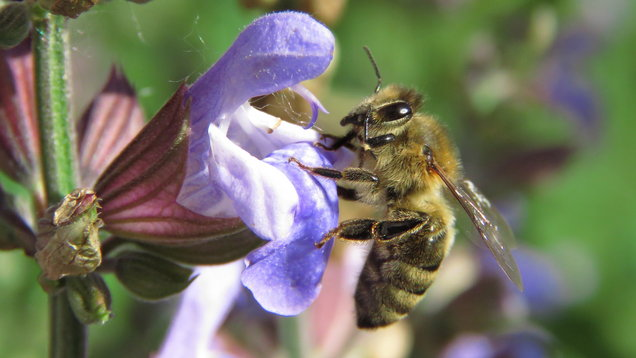 Honeybee on a sage flower. (Thinkstock/PA)