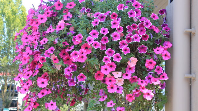 Hanging basket of petunias (Thinkstock/PA)