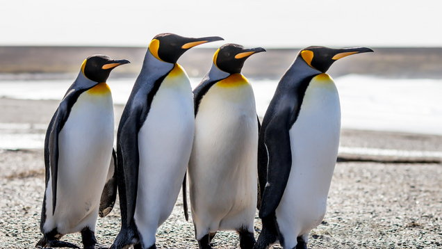 Four King Penguins (Aptenodytes patagonicus) standing together on a beach.