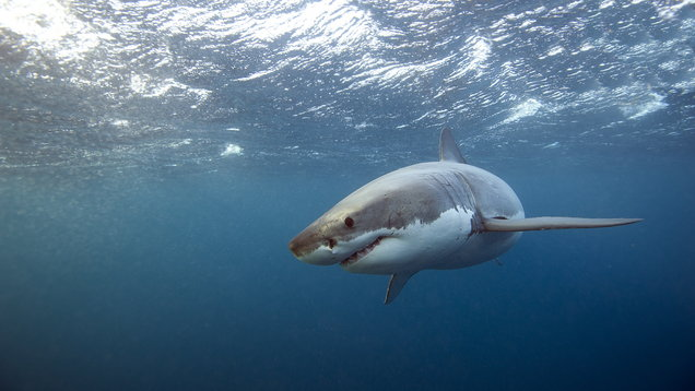 Great White Shark swim past