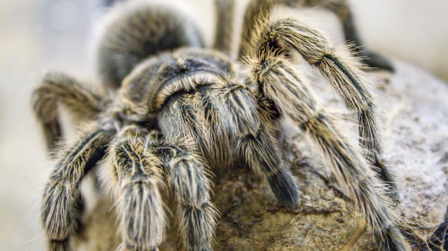 Warning issued as massive spiders the size of DINNER PLATES on the loose