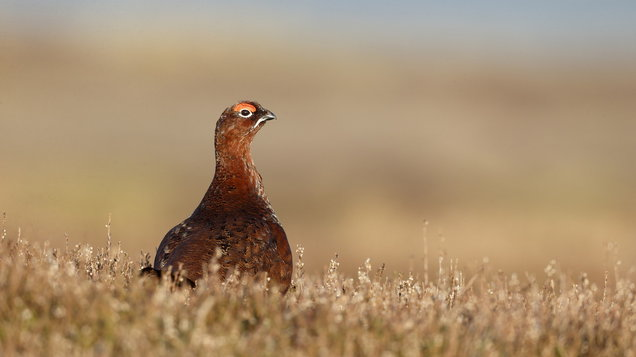 Red grouse, Lagopus lagopuss scoticus
