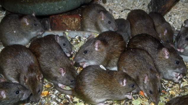 Pest control worker describes HORRIFYING incident with pack of rats