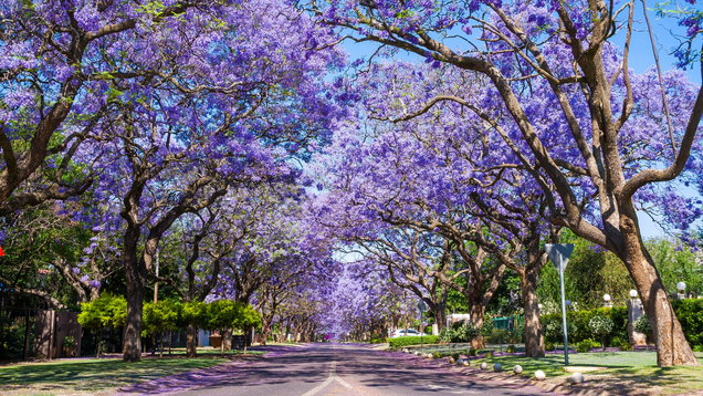 Street in Pretoria with Jacaranda trees