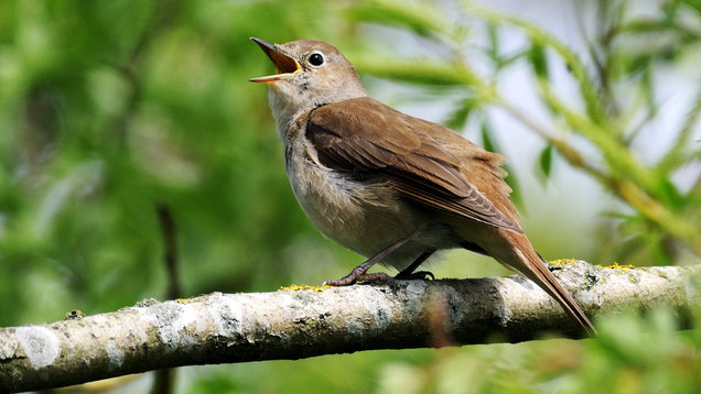 Nightingale Luscinia megarhynchos, adult male singing, Oxfordshire, May