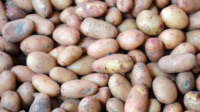 Pyramid heap of unwashed new potatoes isolated on white.