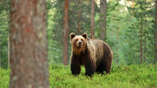 brown bear (ursus arctos) in a forest landscape